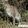 Backyard Bobcats In Winter Springs FL